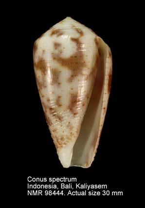 Conus spectrum