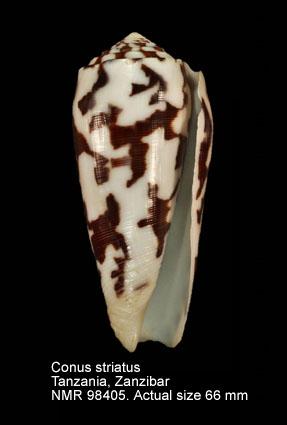 Conus striatus