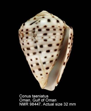 Conus taeniatus