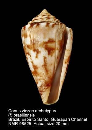 Conus ziczac archetypus