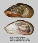 Brachidontes ustulatus