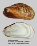 Modiolus rufus