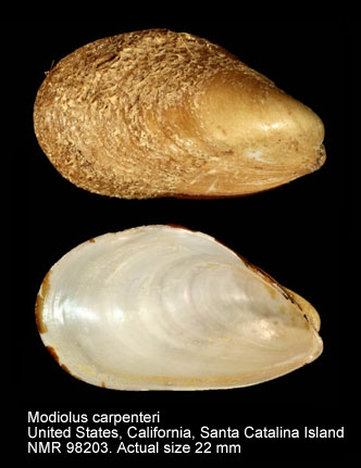 Modiolus carpenteri