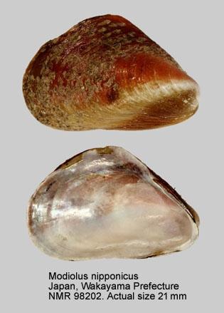 Modiolus nipponicus
