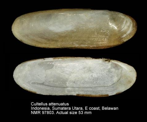 Cultellus attenuatus