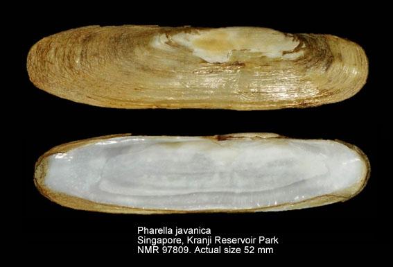 Pharella javanica