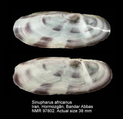 Sinupharus africanus