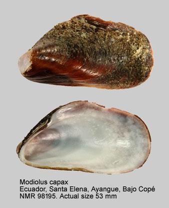 Modiolus capax