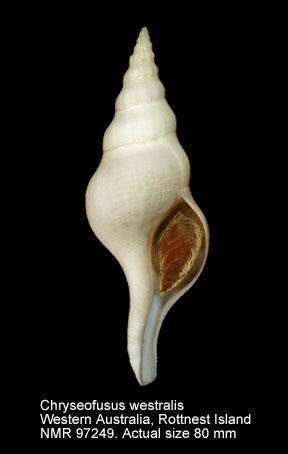 Chryseofusus westralis