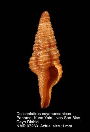 Dolicholatirus cayohuesonicus