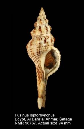 Fusinus leptorhynchus
