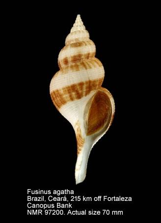 Fusinus agatha