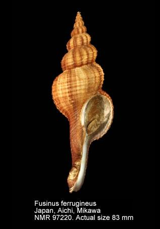 Fusinus ferrugineus