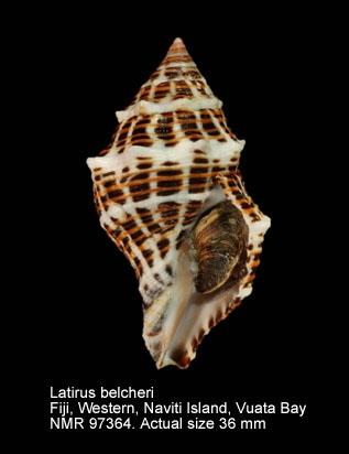 Latirus belcheri