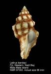 Latirus barclayi