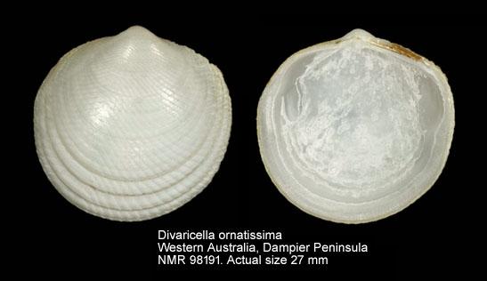 Divaricella ornatissima