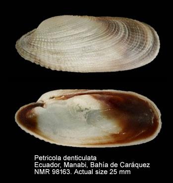 Petricola denticulata
