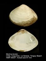 Mulinia bicolor