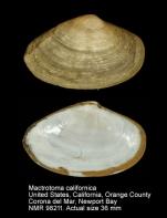 Mactrotoma californica