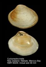 Cyclomactra tristis