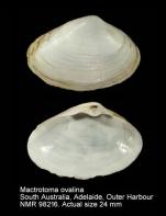 Mactrotoma ovalina