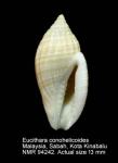 Eucithara conohelicoides