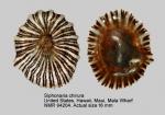 Siphonaria chirura