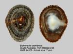 Siphonaria tasmanica