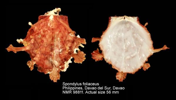 Spondylus foliaceus