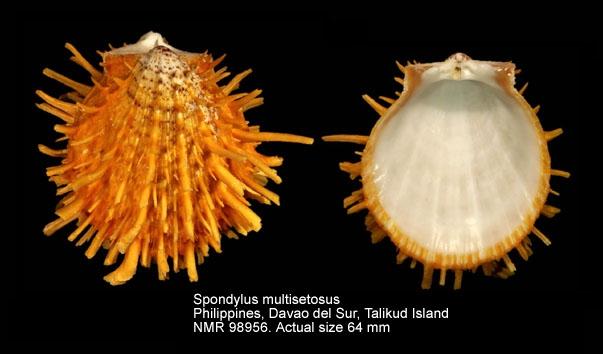 Spondylus multisetosus