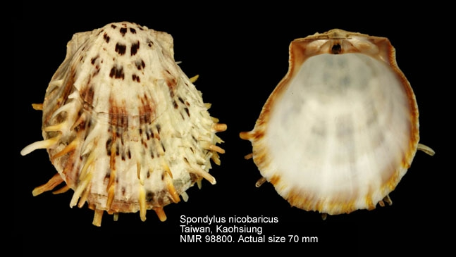 Spondylus nicobaricus