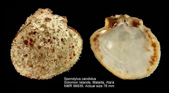 Spondylus candidus