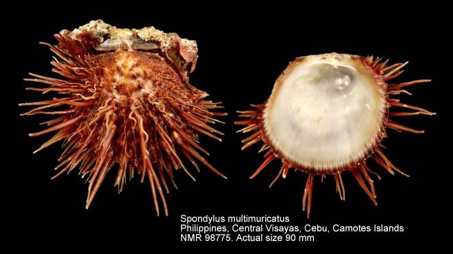 Spondylus multimuricatus