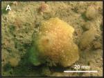 Mycale (Aegogropila) antiae Paratype 5