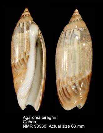 Agaronia biraghii