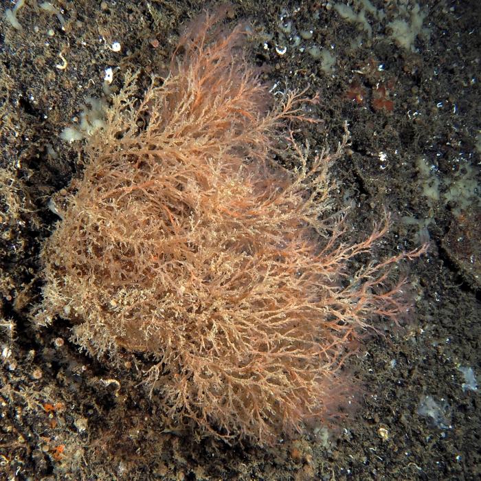 Corydendrium parasiticum; Marseille, Mediterranean
