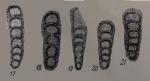 Eonodosaria evlavensis Lipina, 1950