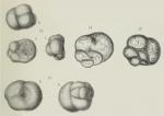 Valvulina bulloides Brady, 1876
