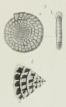 Endothyra ammonoides Brady, 1876