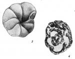 Mstinia bulloides Dain, 1953