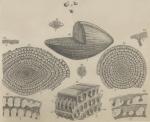Schwagerina craticulifera Schwager, 1883