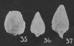 Pseudopalmula palmuloides Cushman & Stainbrook, 1943