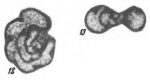 Septabrunsiina krainica (Lipina, 1948)