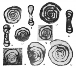 Tournayella discoidea Dain, 1953