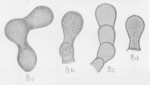 Tuberitina bulbacea Galloway & Harlton, 1928