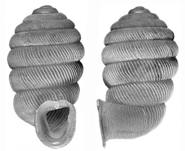 Gulella salpinx Herbert, 2002