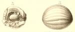 Schwagerina princeps (Ehrenberg, 1842) sensu Möller, 1878