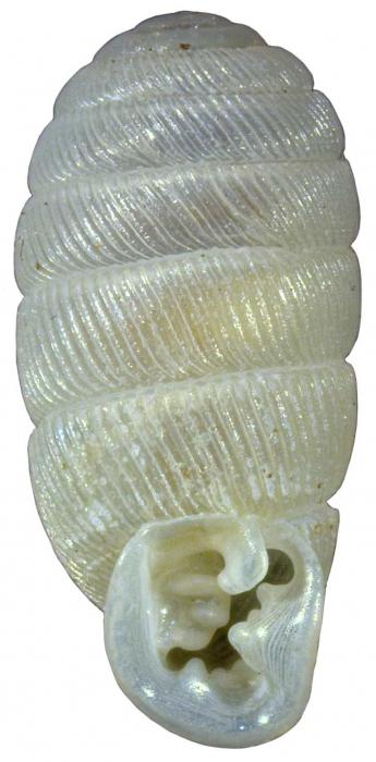 Gulella davisae Herbert, 2016, holotype NMSA P0418/T4086