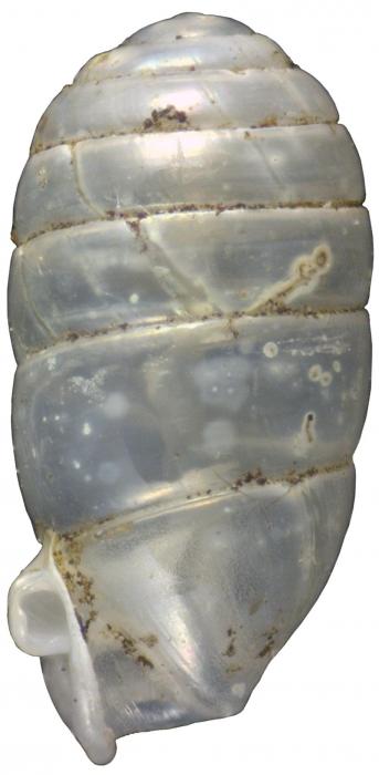 Gulella hadroglossa Herbert, 2016, holotype NMSA P0417/T4085
