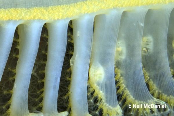 Ptilosarcoma athyrmata